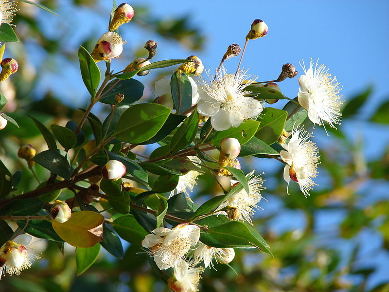 Myrte commun Myrtus communis - by Forest&Kim Starr - Licence Creative Commons 3.0