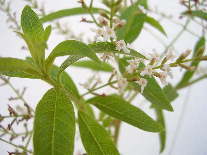 Verveine odorante Aloysia triphylla - by RickP - Licence Creative Commons 3.0