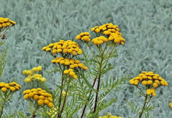 Hélichryse italienne spp italicum