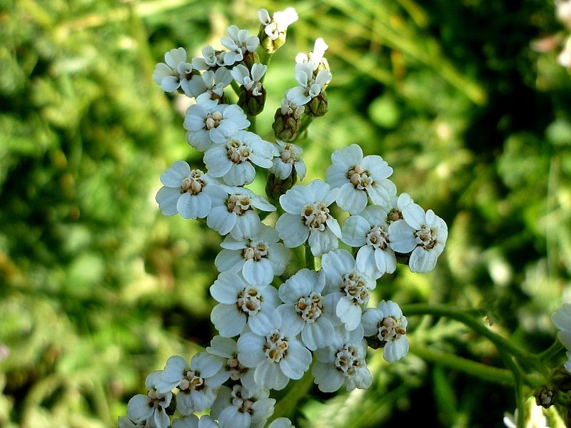 Achillée millefeuille Achillea Millefolium - by Isidre Blanc -  Licence Creative Commons 3.0