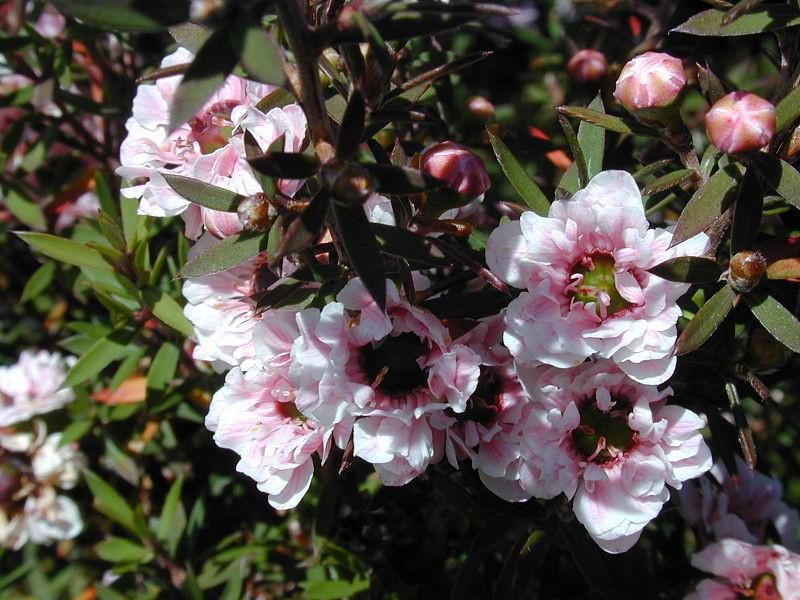 Manuka Leptospermum scoparium - by Forest&Kim Starr - Licence Creative Commons 3.0