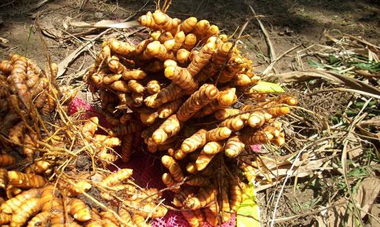 Curcuma longa - Rhizome