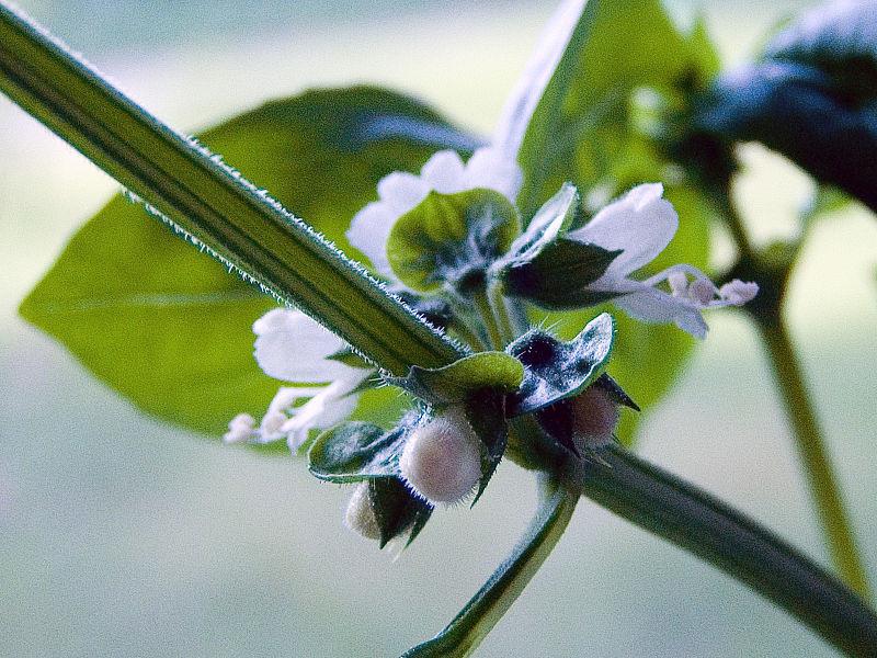 Basilic exotique Ocimum basilicum - by Alians - Licence Creative Commons 2.0