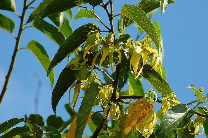 Ylang Ylang Cananga odorata - by Challiyan -  Licence Creative Commons 3.0