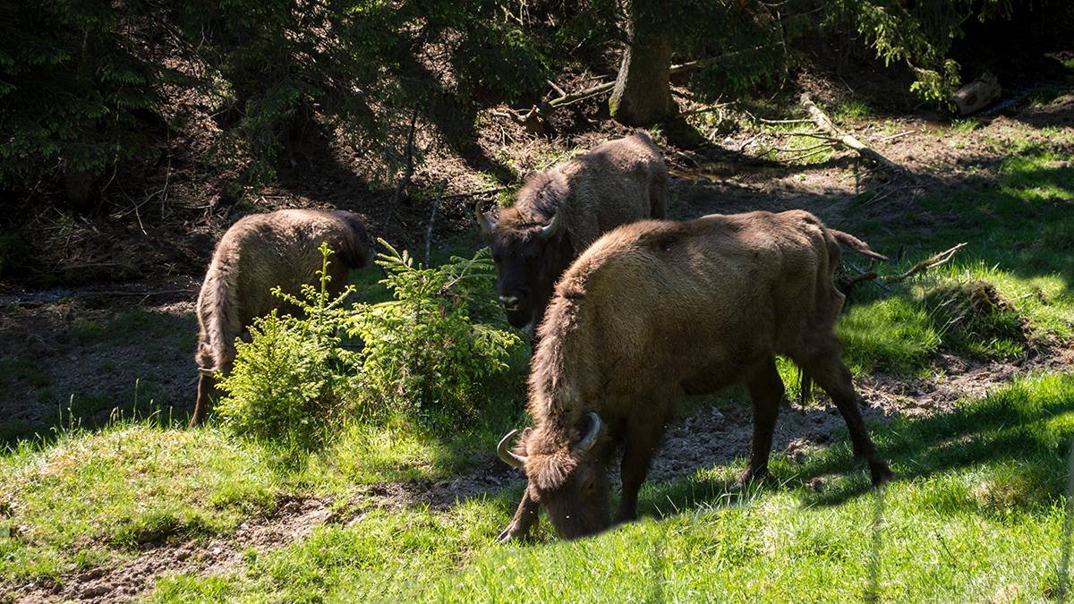 Freilebende Wisente in den Wittgensteiner Wäldern – einzigartiges Artenschutzprojekt im Rothaargebirge