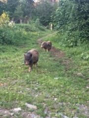 Kühe hatten wir ja schon mal - nun also Schweine...