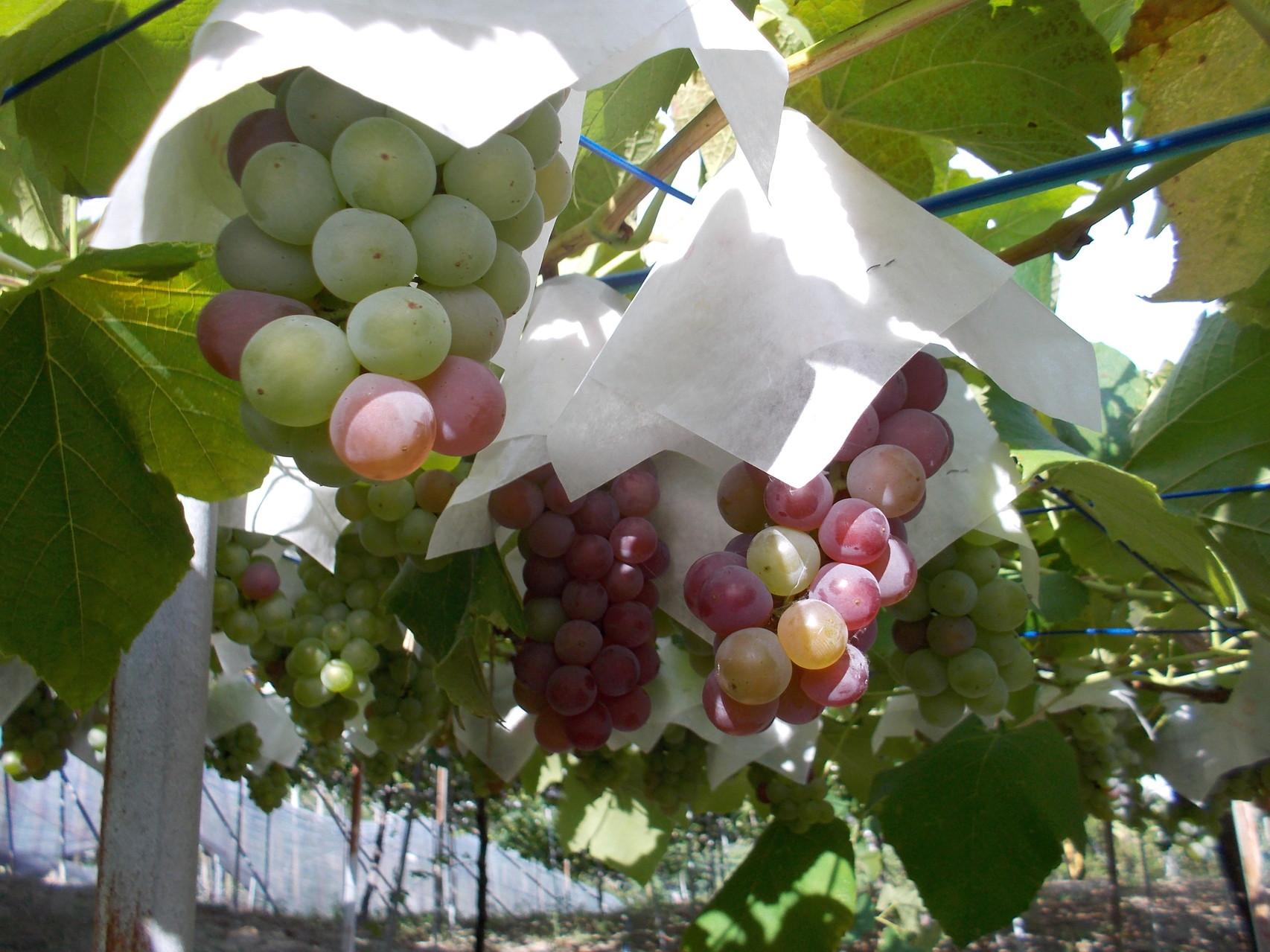 Late Jul あと2週間ほどで収穫です。