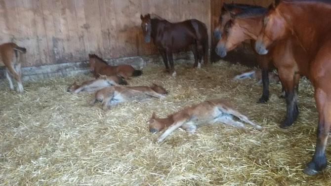 Die ersten Fohlen sind geboren !