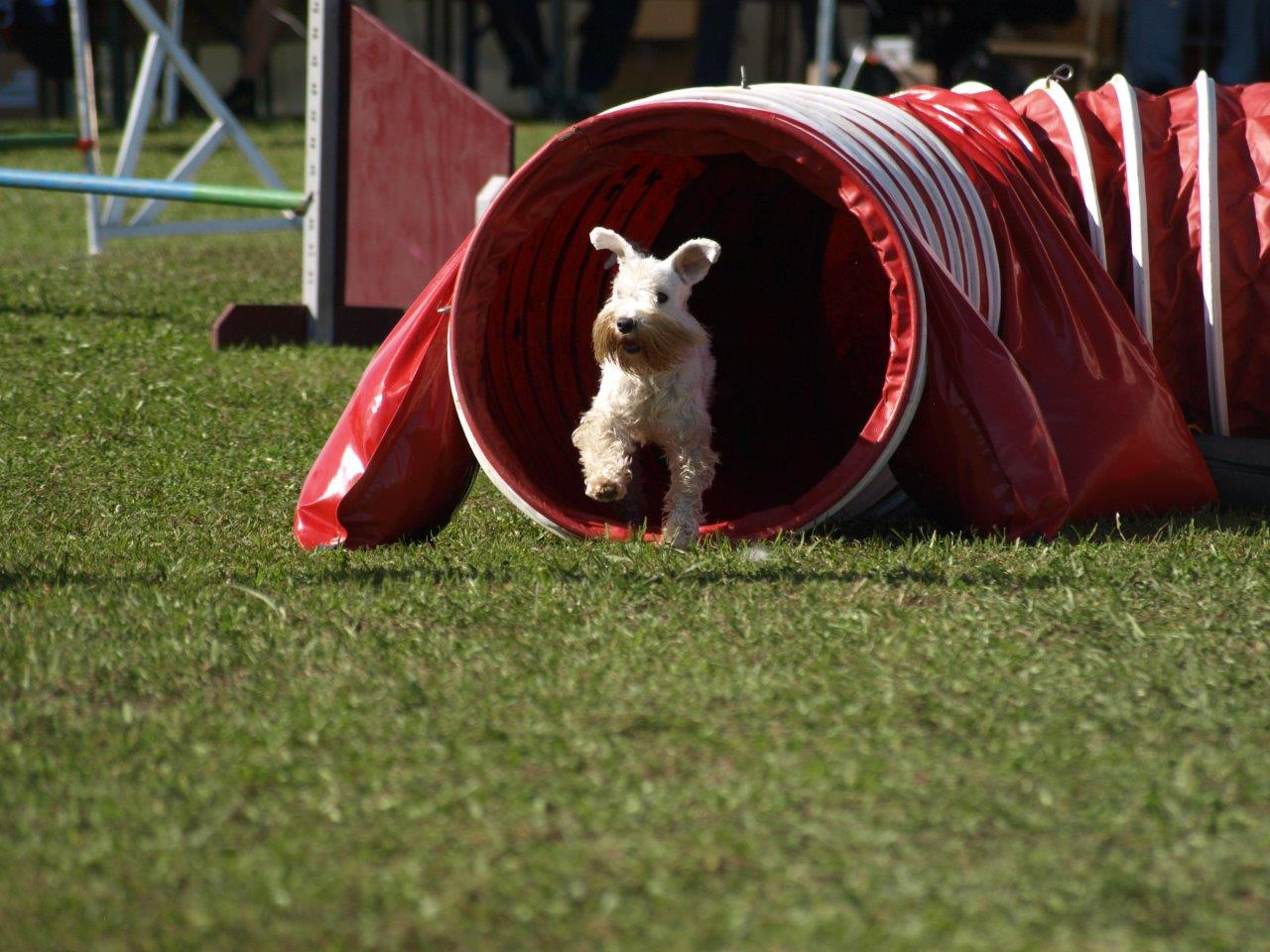 Caprice Agility Tunnel by Eyth's