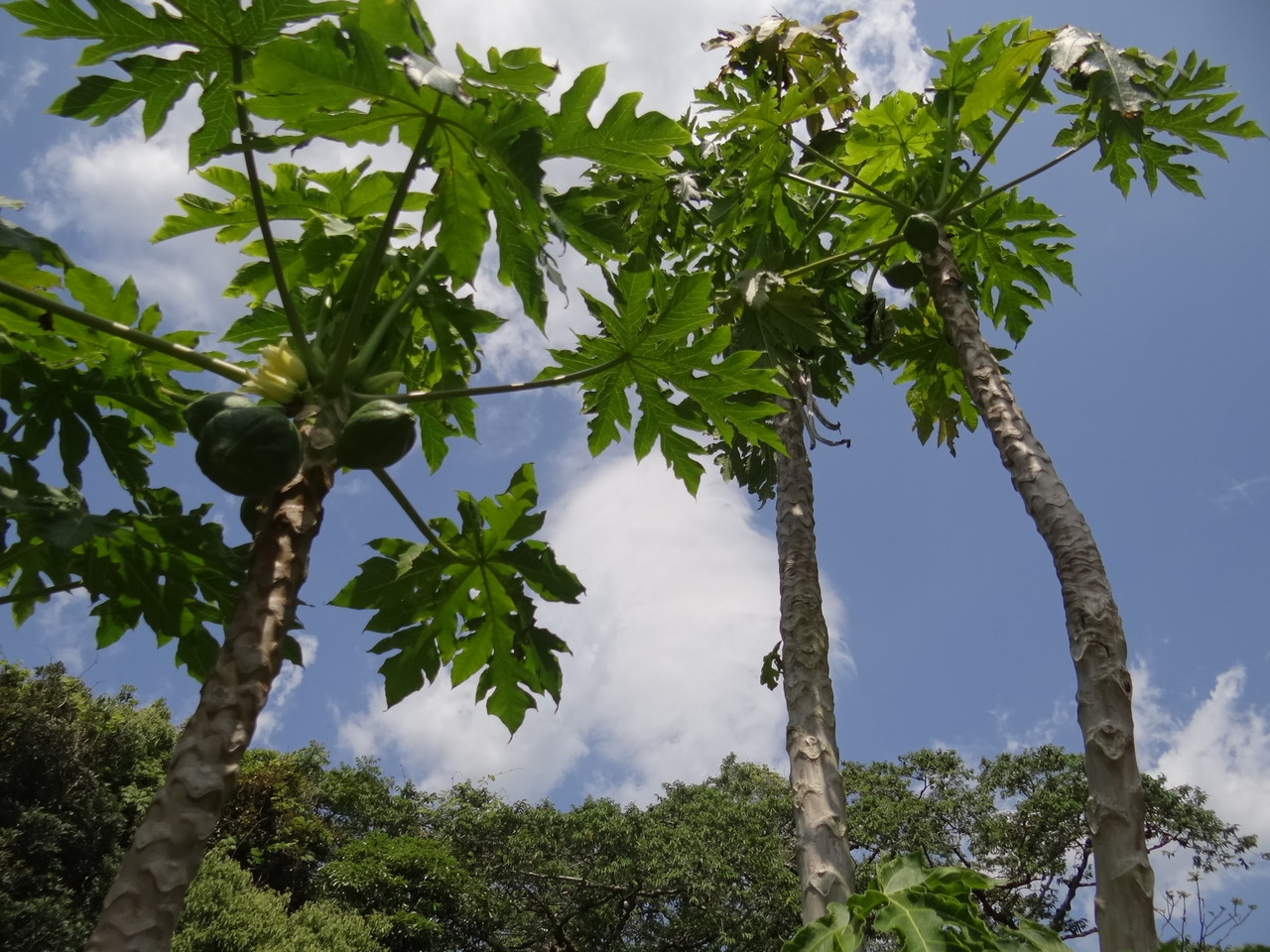 ハナマナガーデンのパパイア Papaya in  Hana Mana  garden