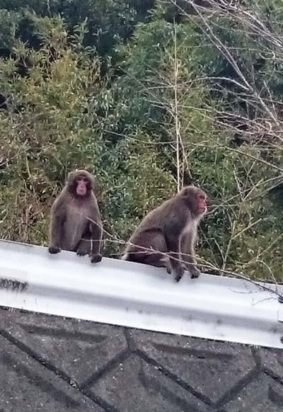 申年に猿に出会う!