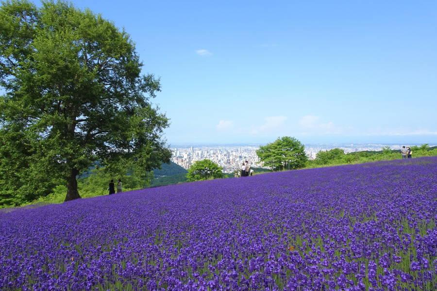富良野以外で見るラベンダー!札幌では刈り取り体験や不思議な畑がある?【北海道観光スポット】