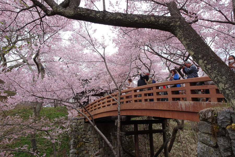 高遠城址さくら祭りは圧倒的な桜感【日本半周してた旅~第48話】