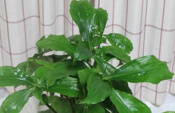 ピカピカ葉っぱの6号ロング苗。冬期夜温が5度高いだけですが、成長が全然違います。