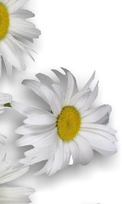 Chamomile Health Benefits Pharmacognosy Medicinal Plants