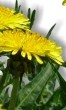 Chilli pepper - Medicinal plants