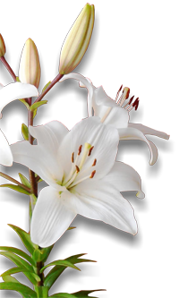 White lily pharmacognosy medicinal plants for Azucena plantas jardin