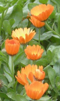 Pot marigold health benefits