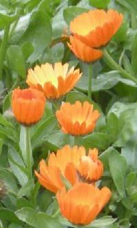 Pot marigold health benefits