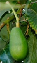 Avocado properties