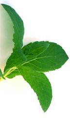 Mint - spearmint - Pharmacognosy - Medicinal Plants