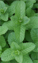 Spearmint benefits. mint