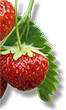 Strawberry - Medicinal plants