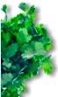 Coriander - Medicinal plants