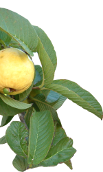 uses of guava