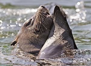 Planschender südafrikanischer Seebär