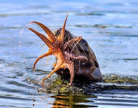 Eine Robbe hat einen Kraken gefangen