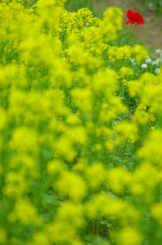 6/21 上富良野町 菜の花畑と一輪のポピー
