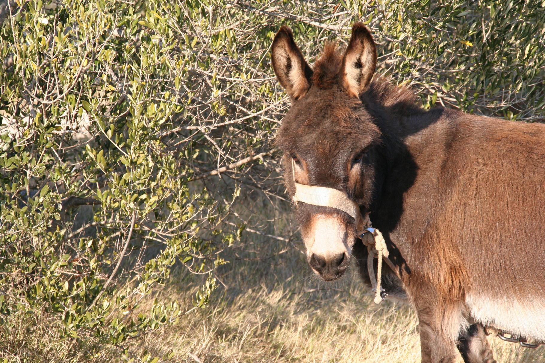 Kroatien - Ein Esel