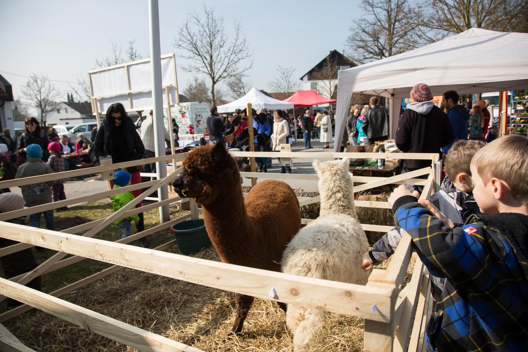 Alpakas aus Horgauergreut mit samtweichem Fell - SÜÜÜÜÜSSS - waren nicht nur bei den Kindern beliebt...