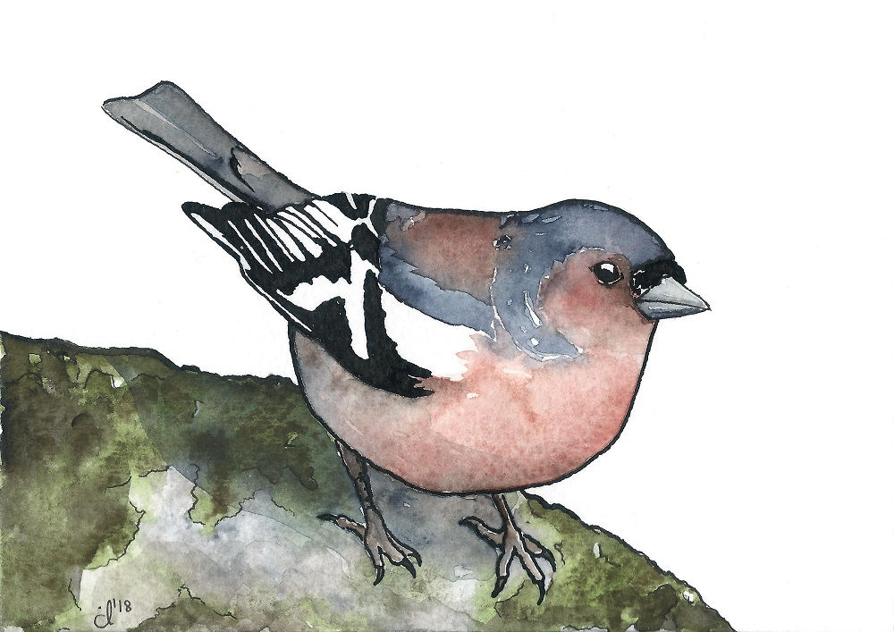 #16 Common Chaffinch