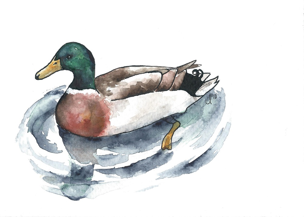 #8 Mallard Duck