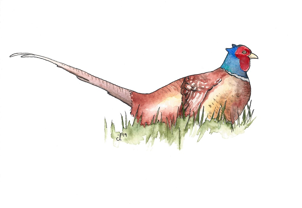 #18 Common Pheasant