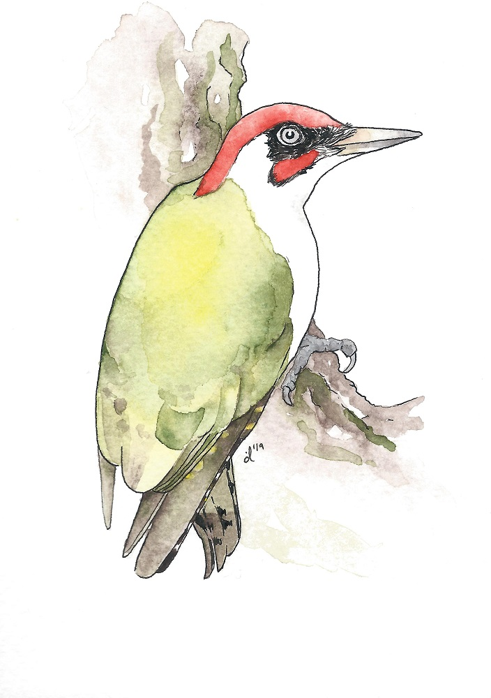#17 European Green Woodpecker