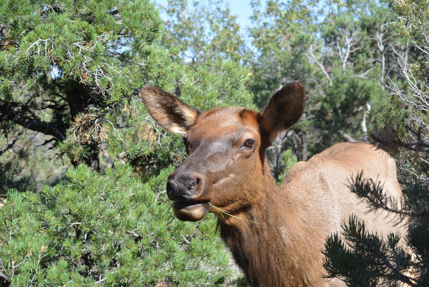 Elk (élan)