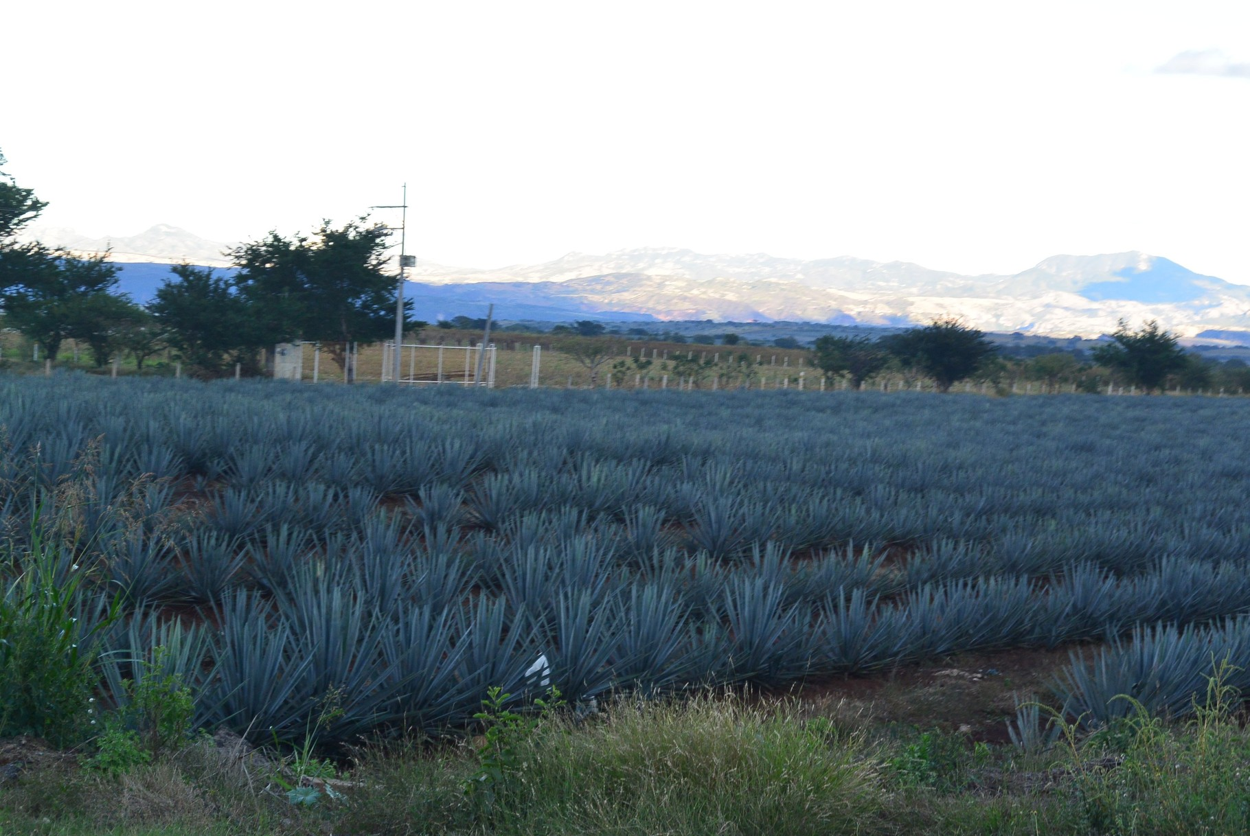 champs d'agaves