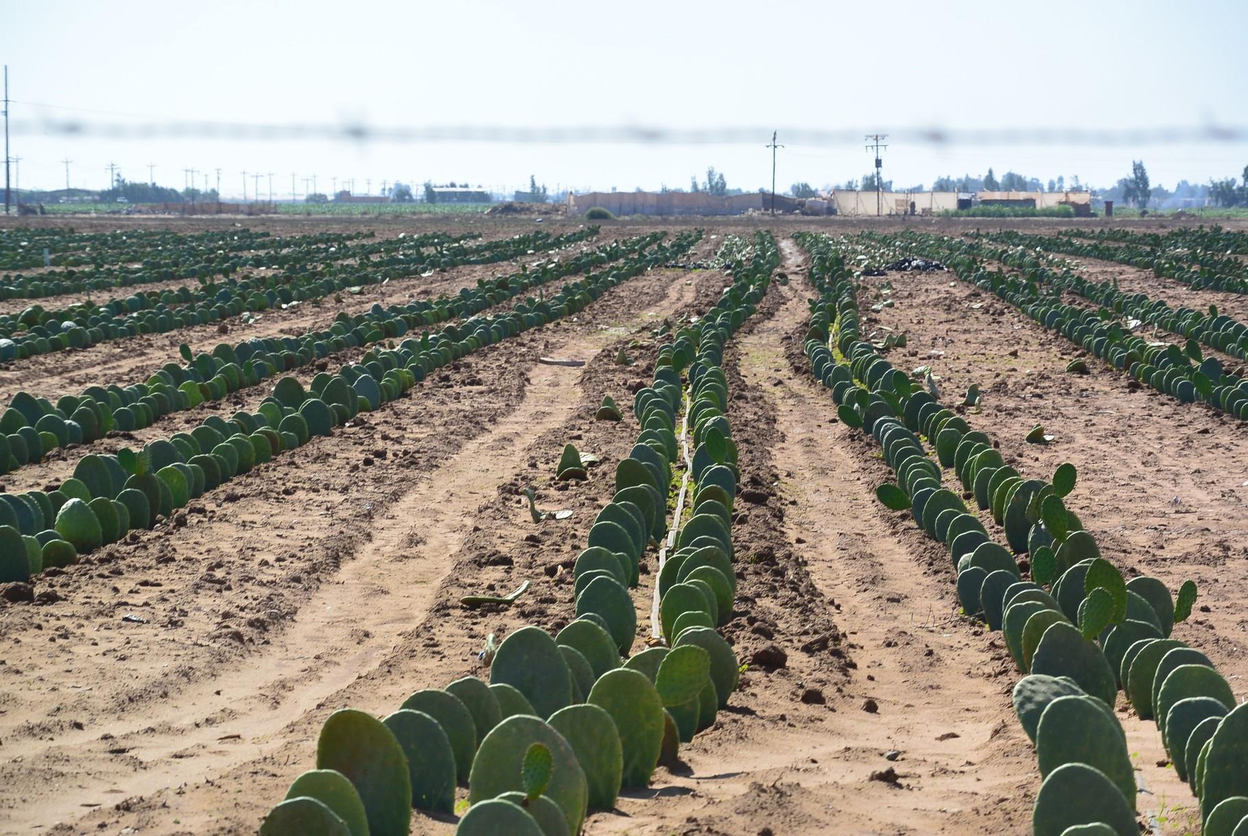 Plantation de cactus comestibles !!