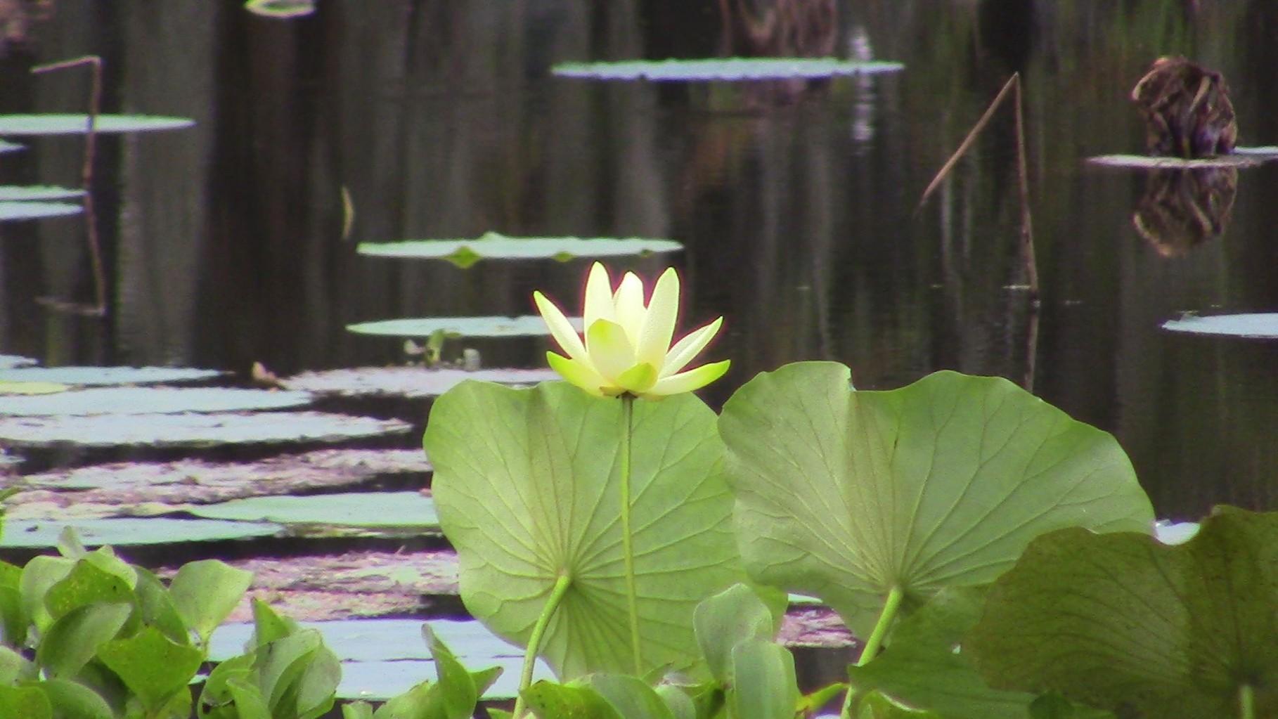 Fleur en bouton à notre arrivée, le matin....c'est pour nous!