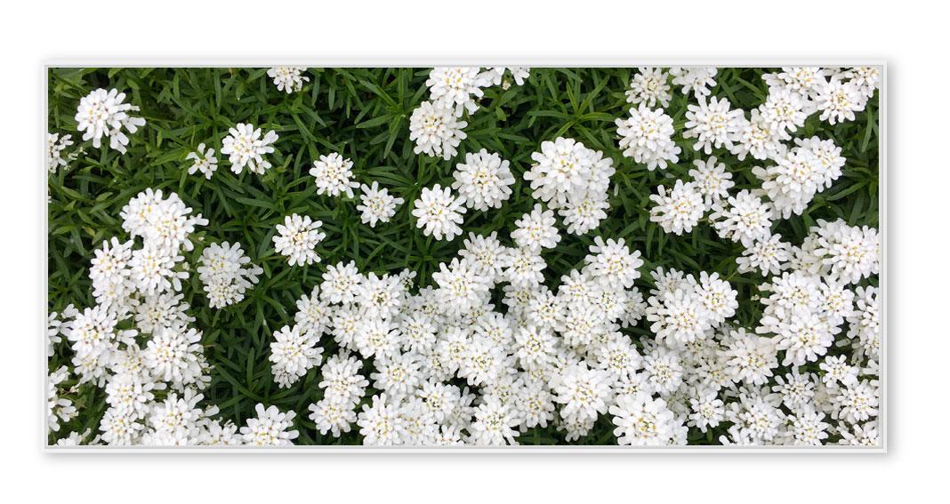 Weisse Blumen 010