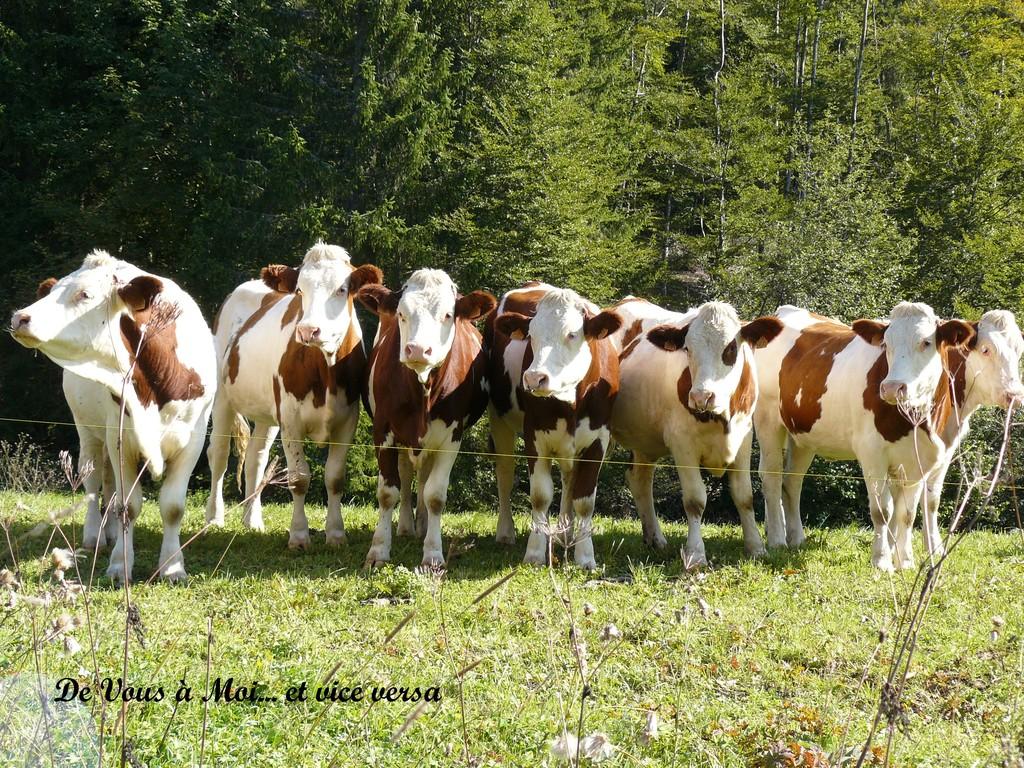Des vaches pour le Comté, le Morbier, le Mont d'Or, le Bleu de Septmoncel et tous les autres !