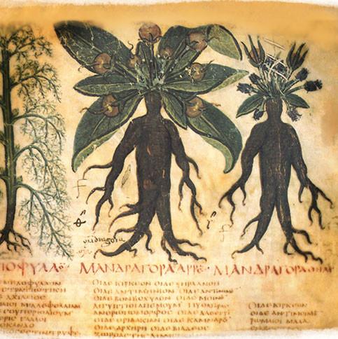 En la ilustración aparece dibujado la mandrágora, una planta cuya raíz tiene forma humana y emitía un grito al ser arrancada. Se le atribuyen muchas propiedades curativas.