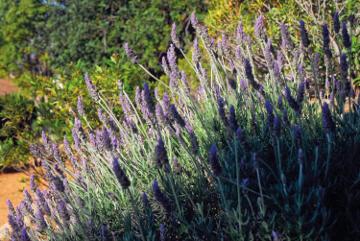 Lavender at the  Algarve