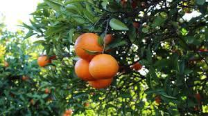 Orange plantations at the Algarve