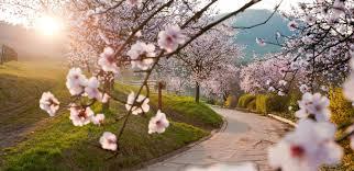 Almond blossom at the Algarve