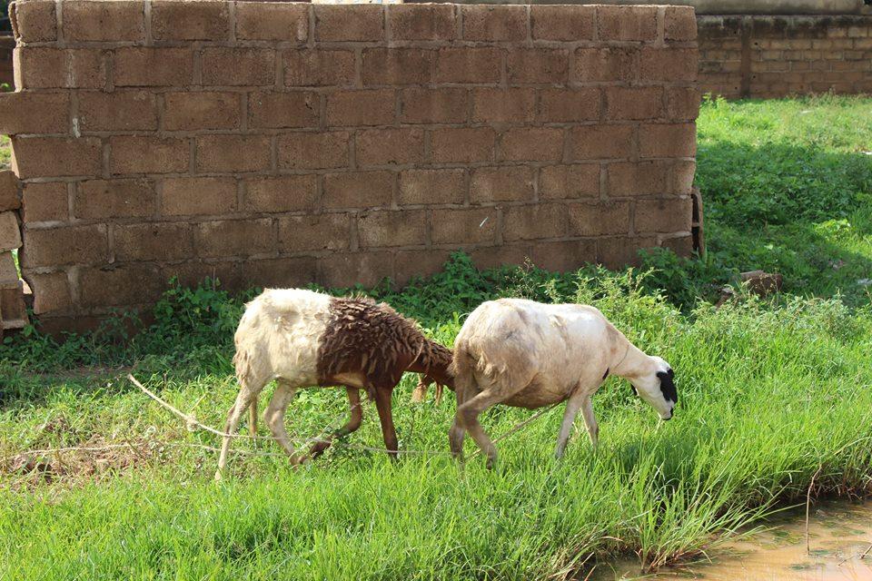 Alltag: Schafe, Ziegen, Esel etc. werden dorthin gebracht, wo es grün ist und angebunden.