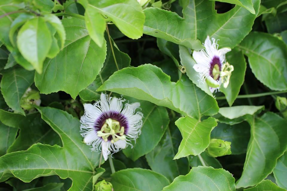 Im Garten von LSI: Blüten der Passionsfrucht